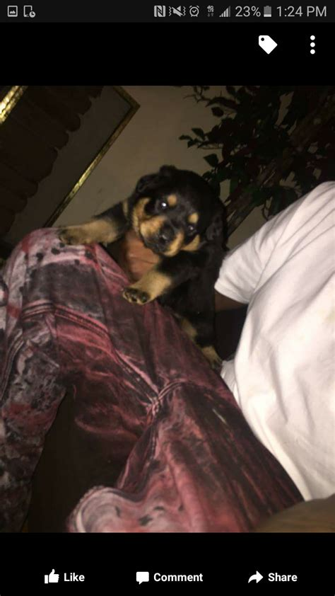 rottweiler puppies for sale in detroit rottweiler puppies for sale detroit mi 194111