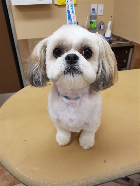 Shih Tzu Haircuts At Home | 74 best shih tzu grooming hairstyles images on pinterest