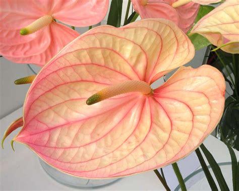 gardensonline anthurium andraeanum