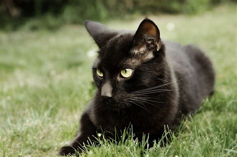 of a black cat the top 5 pictures of black cats cats paradise