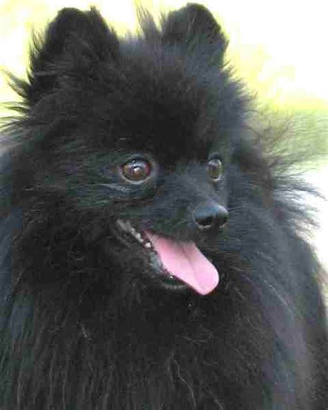 black pomeranian puppies for adoption i filled out the adoption application for a black pomeranian today this isn t the