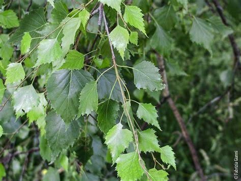 fiori betulla betulla betula pendula
