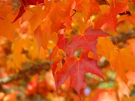 fall tree leaves art prints orange red autumn photograph by baslee troutman