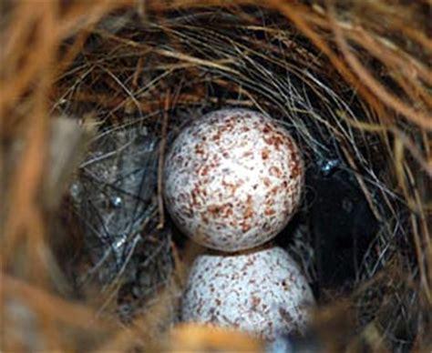 wren eggs jpg