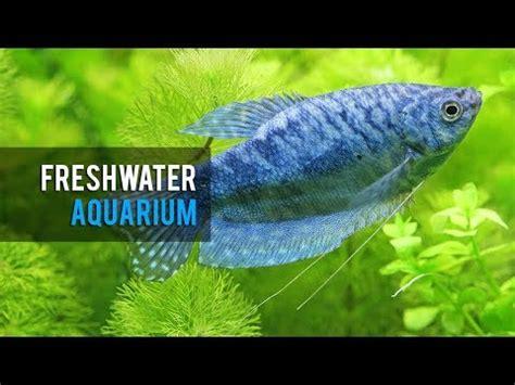 ikan hias akuarium air tawar bagian 3