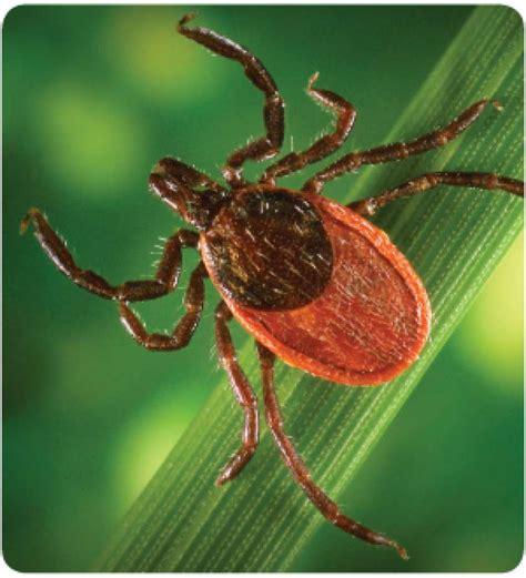 tick lyme disease fungus kills lyme disease carrying ticks connecticut post