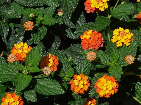 Free photo: Lantana, Lantana Camara   Free Image on Pixabay   9910