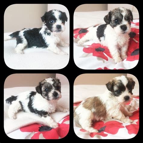 shih tzu x poodle puppies for sale pooshi puppies for sale shih tzu x poodle broxbourne hertfordshire pets4homes