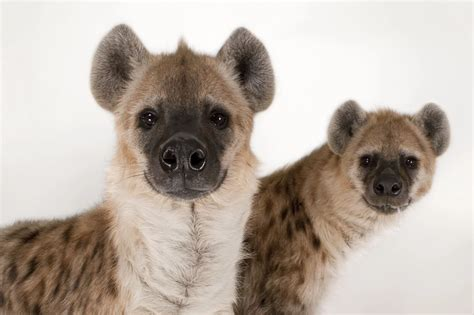 is a hyena a what is a hyena called you ll be surprised naija ng