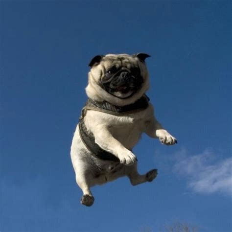 the flying pug flying pug beautiful and dogs