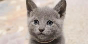 Russian blue kitten picture kitten names rank male female 01