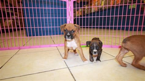 boxer puppies for sale in ga wonderful boxer puppies for sale in at puppies for sale local breeders
