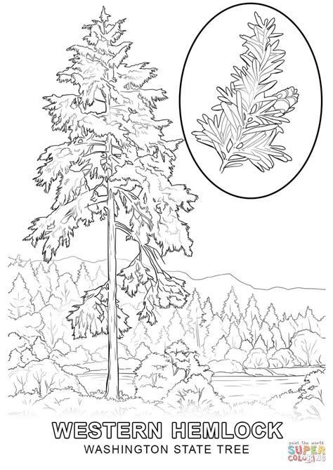washington state tree coloring page free printable