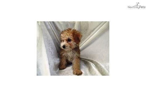 apricot yorkie poo puppies for sale yorkiepoo yorkie poo puppy for sale near san diego california 027ddbc2 1ac1