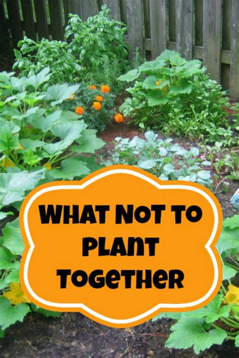 Companion Planting   What NOT To Plant Together   Moms