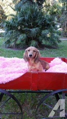 miniature dachshund puppies jacksonville fl dachshund miniature hair for sale in jacksonville florida classified