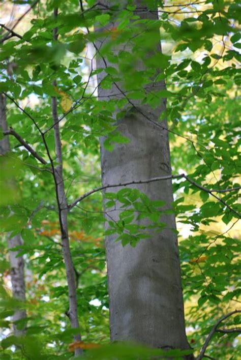 types of trees images reverse search beech tree species images reverse search