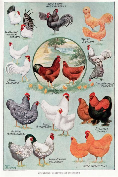 breeds with images chicken breeds pictures and names with 1000 images about chicken on