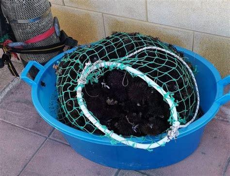 pesca porto cesareo porto cesareo pesca 600 ricci nell area marina protetta