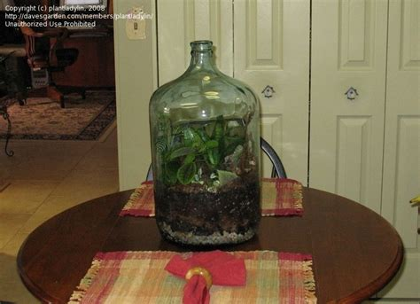 garden in a bottle beginner gardening bottle garden 1 by plantladylin