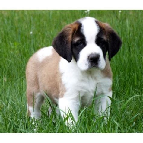 st bernard puppies indiana crooked river saints bernard breeder in waterford maine listing id 9735