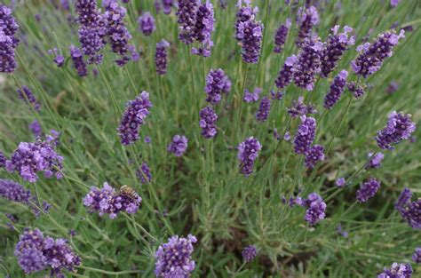 hardy lavender plants grow herbs and flowers in rosemary and lavender hardy herbs that often survive our winters and spice up or calm