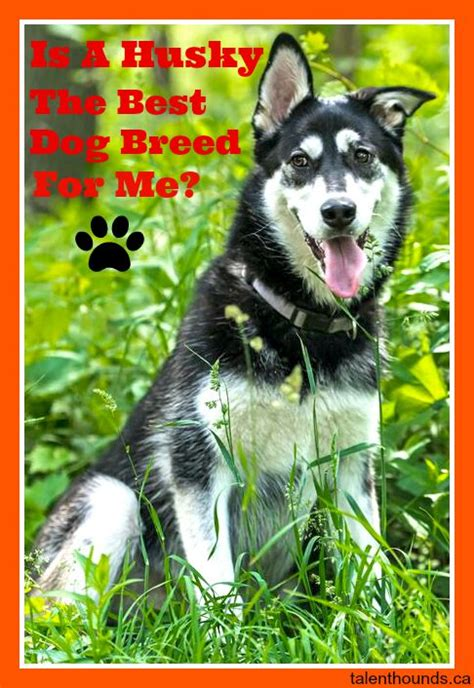 what breed is best for me is a husky the right breed for you talent hounds