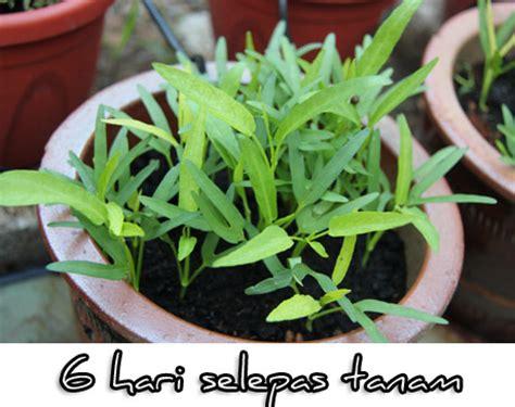 Sayur Kangkung Organik tanam kangkung organik segalanya tentang tumbuhan