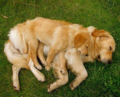 golden retriever family the cutest golden retriever pictures