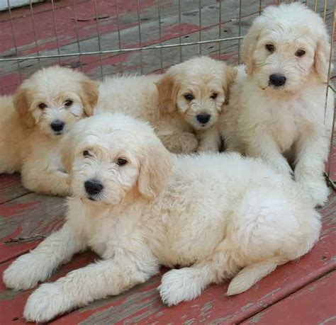 Goldendoodle Shed by Goldendoodle Designer Breed F1 F1b Goldendoodles