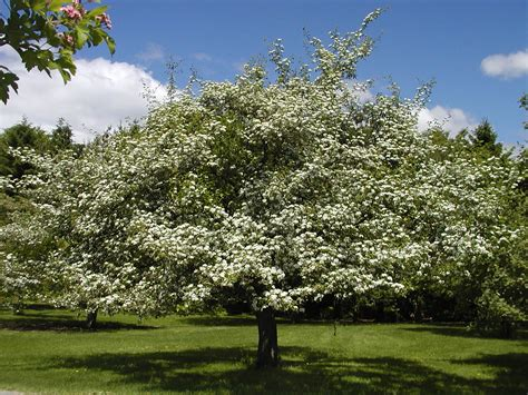 Olivier De Bohème Persistant by What To Look For When Choosing Trees And Shrubs Space