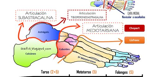 clasificacion de las cadenas musculares pdf valoraci 243 n funcional pie tobillo