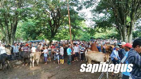 Bibit Sapi Potong Per Ekor kppu telusuri penyebab tingginya harga bakalan sapi lokal