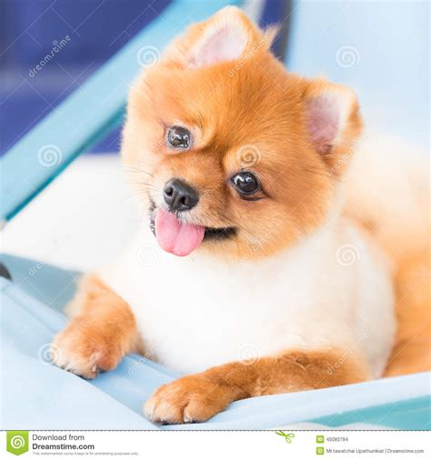 pomeranian bed pomeranian on canvas bed stock photo image 45083794