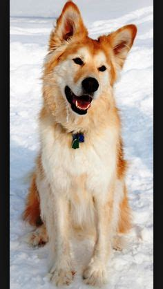 buy golden retriever husky mix okay i am officially in with this an akita husky mix akita with the blue