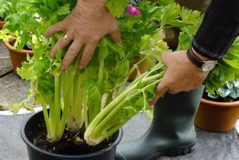 Bibit Seledri Batang cara menanam daun seledri daun sop di pot atau polybag