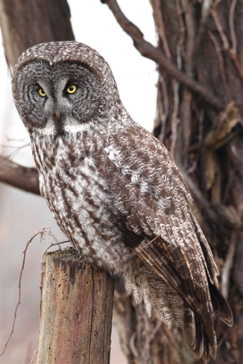 great gray owl ohio birds and biodiversity