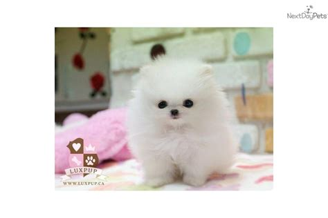 teacup pomeranian for sale vancouver pomeranian puppy for sale near vancouver columbia 72852989 4071