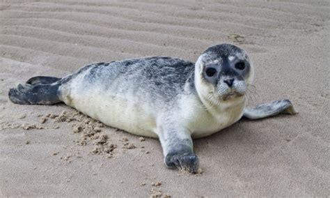 Seehunde im Stress: Die Wurfzeit beginnt   Nationalpark ... Seehund