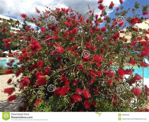 callistemon shrubs with red flowers stock photo image 40825932