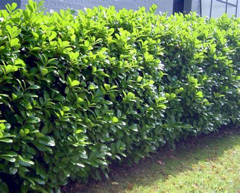 prunus laurocerasus rotundifolia hedge 5 prunus laurocerasus novita evergreen hedge