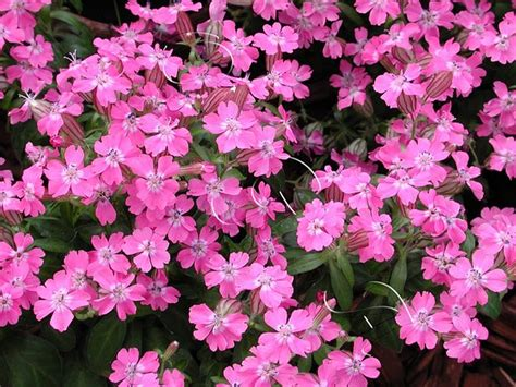 catchfly flower seeds flowerseedstore