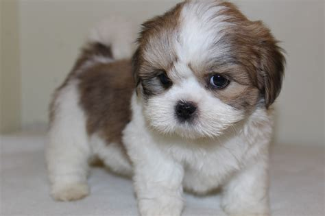 lhasa apso puppy lhasa apso portraits photographs information and just plain also see