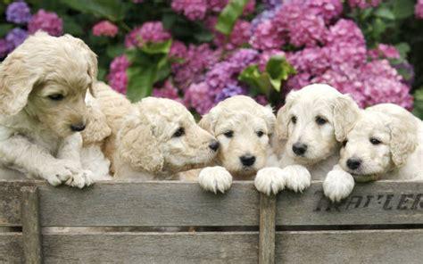 mini doodle hunderasse goldendoodle welpen doodle hund doodle hunderassen