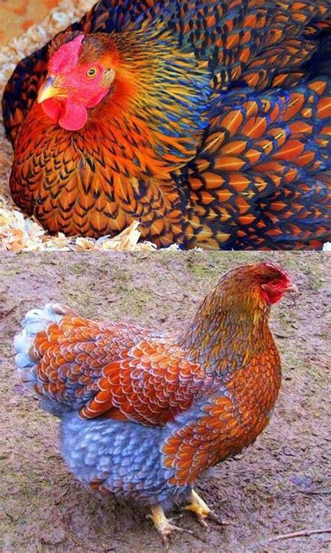 beautiful bird pet chickens beautiful chickens cute