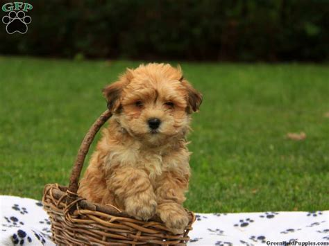 havanese nj havanese puppies for sale in pa md ny nj