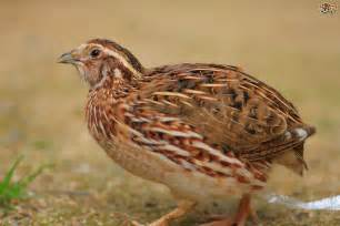 the meaning and symbolism of the word quail