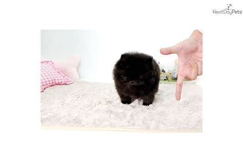 pomeranian for sale ayosdito teacup pomeranian puppies available for sale breeds picture