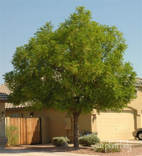 Best Shade Tree For Backyard by A Wonderful Dilemma Part 2 Ramblings From A Desert Garden