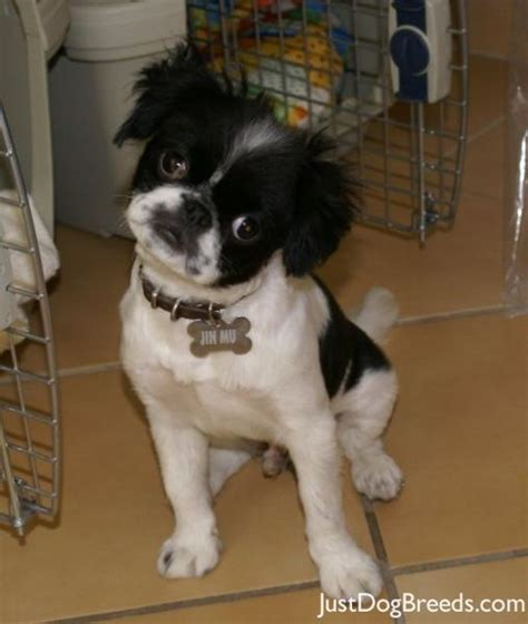 large breed from japan jin mu japanese chin breeds